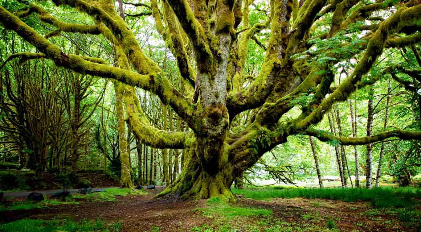 Mossy Tree Pacific North West
